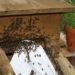 Bienen ziehen in ihr neues Zuhause ein