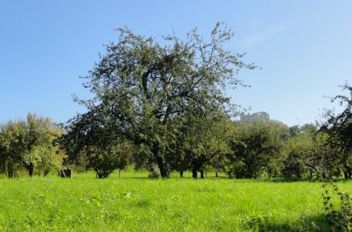 Eine Streuobstwiese mit Apfelbaum im Sommer